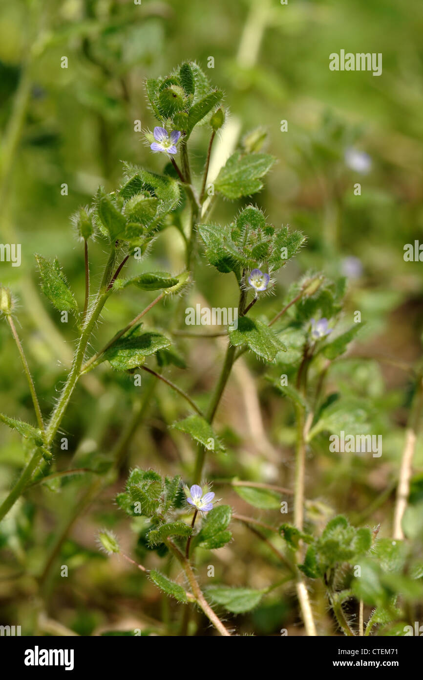 Blue Ivy Leaved Speedwell Veronica Hederifolia Ssp Hederifola