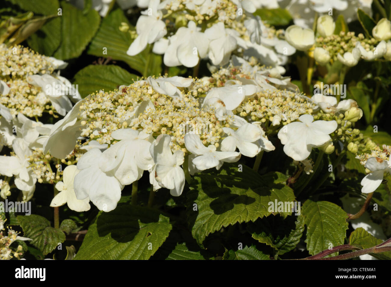 White snowball flowers stock photos white snowball flowers stock japanese snowball bush viburnum plicatum white flowers on ornamental shrub stock image mightylinksfo