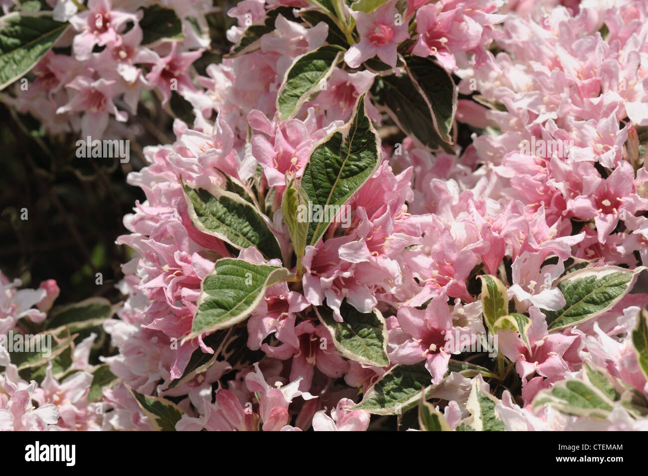 Variegated Shrub Stock Photos Variegated Shrub Stock Images Alamy