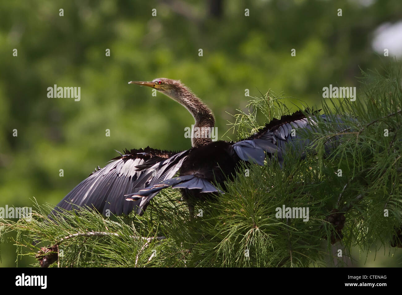 Anhinga sunning spreading its wings - Stock Image