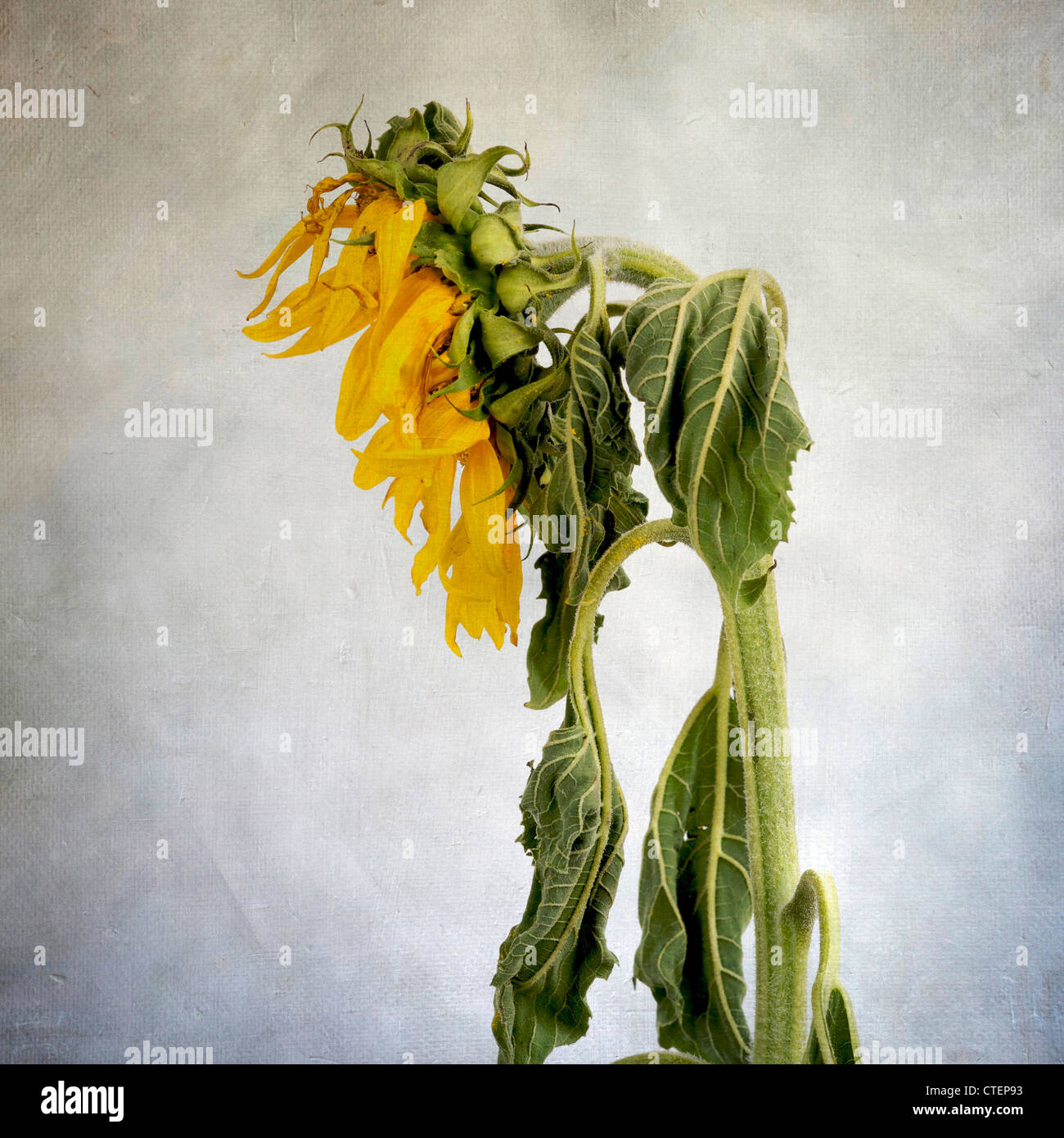 Withered sunflower - Stock Image