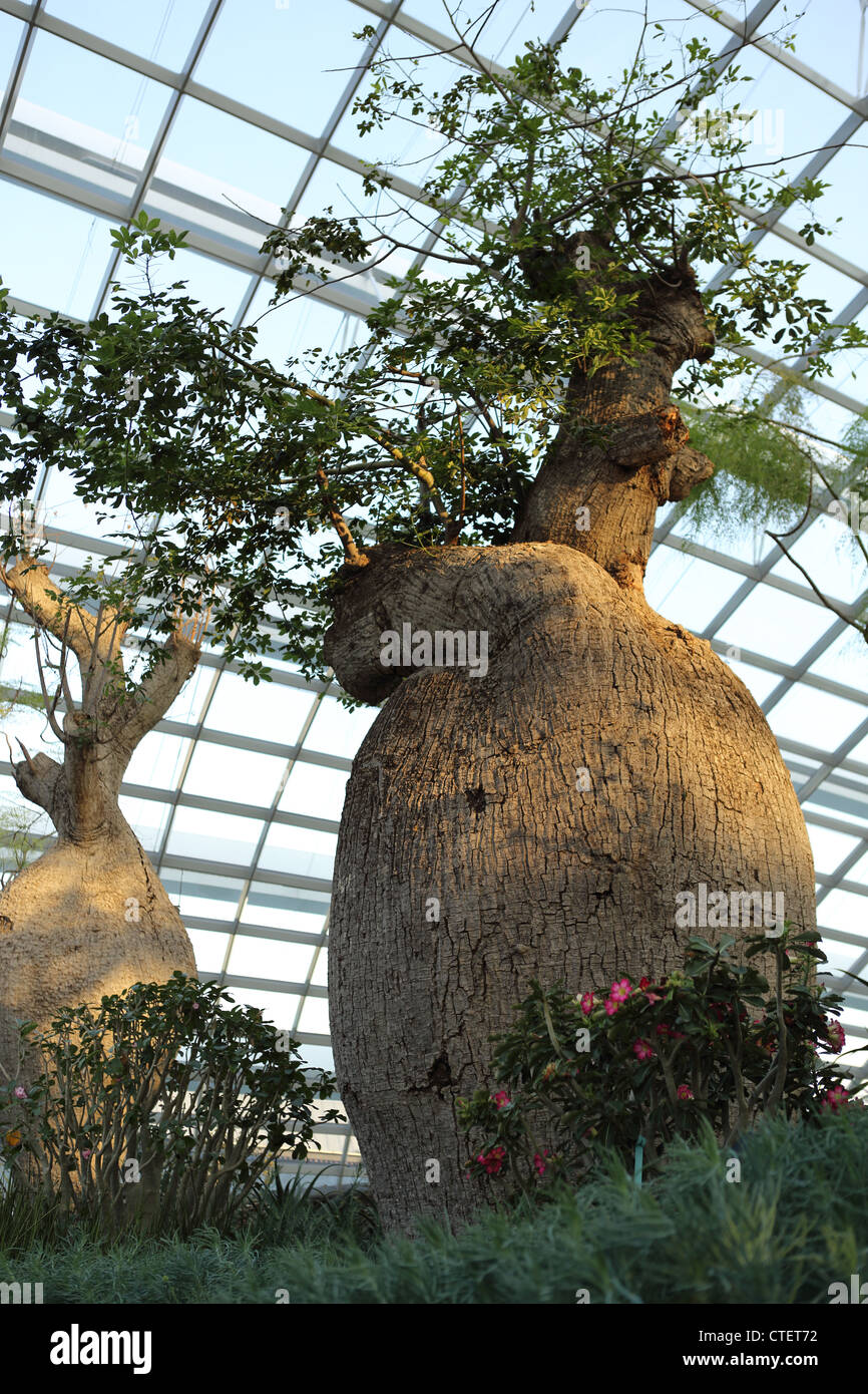 Baobab tree growing inside the Flower Dome conservatory at Gardens By The Bay in Singapore. - Stock Image
