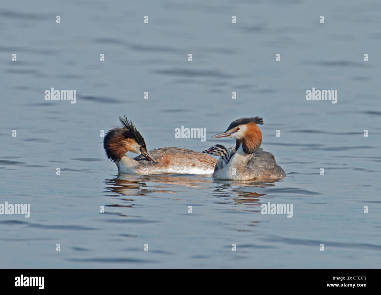 GREAT CRESTED GREBES Podiceps cristatus WITH CHICK. - Stock Image