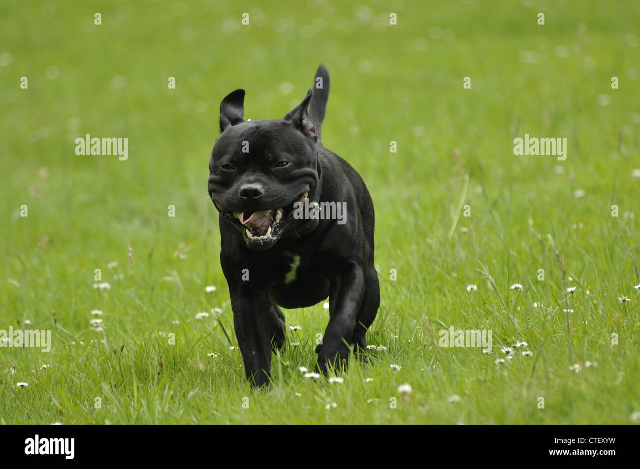Staffordshire Bull Terrier running through grass towards camera - Stock Image