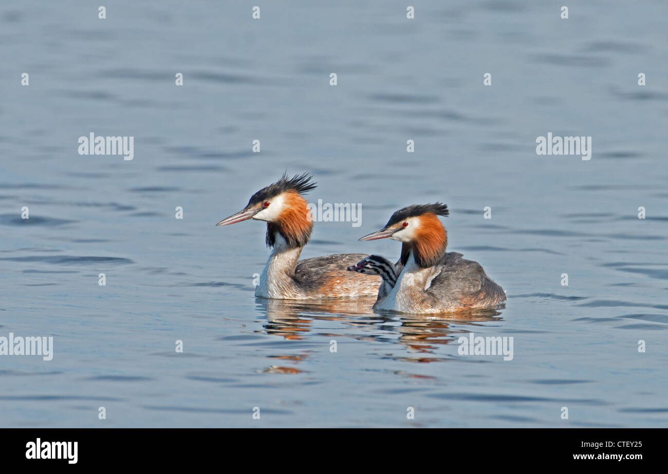 GREAT CRESTED GREBES Podiceps cristatus WITH CHICK. Stock Photo