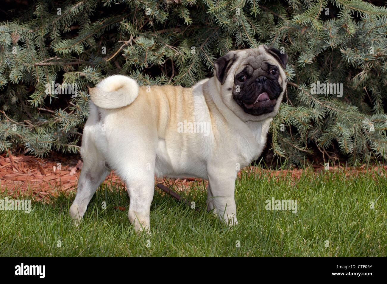 Pug standing - Stock Image