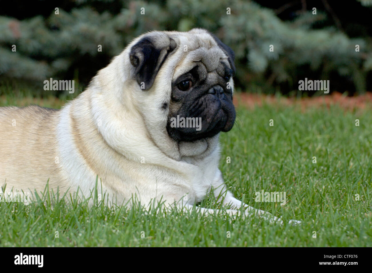 Pug lying down in grass - Stock Image