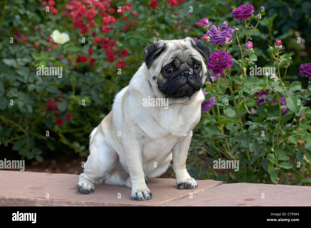 Pug sitting - Stock Image