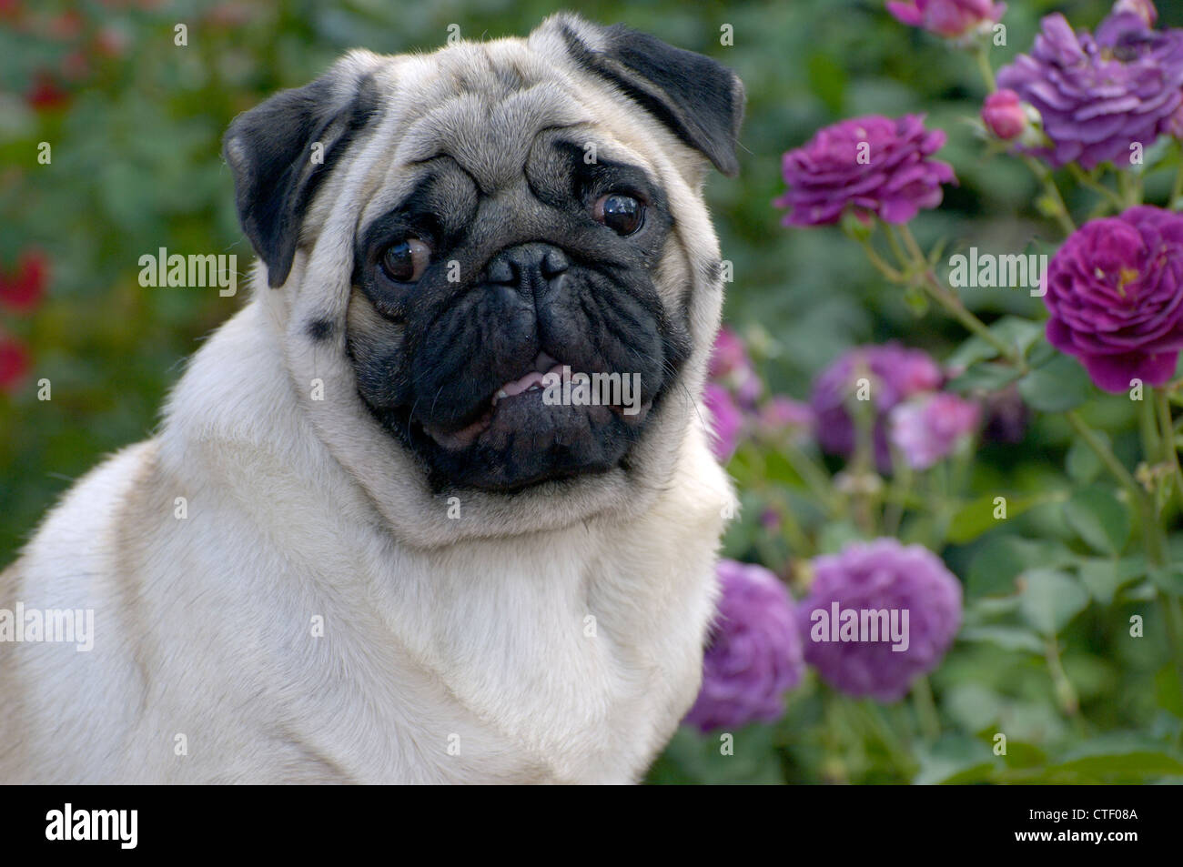 Pug-head shot - Stock Image