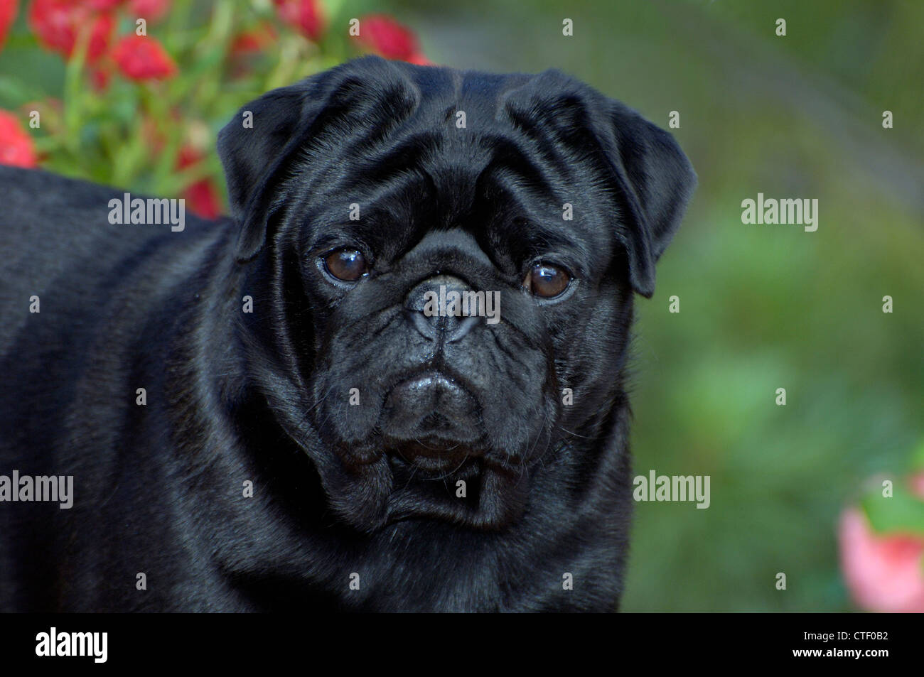 Black pug-head shot - Stock Image