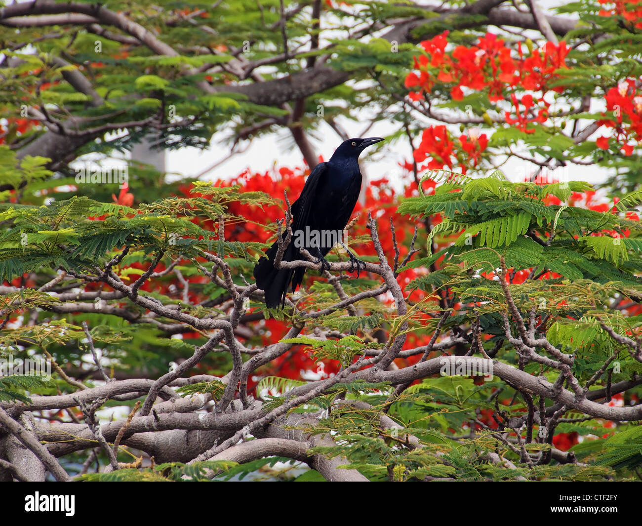 Great-tailed Grackle in a Flamboyant tree in blooming - Stock Image