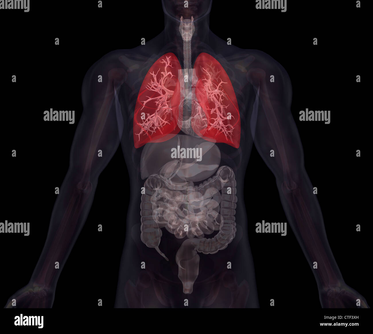 Human Body Illustration Simple Organs Stock Photos & Human Body ...