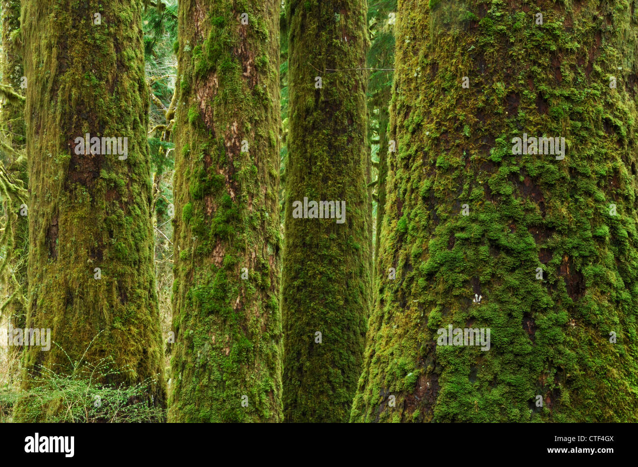 Mossy forest in the Stillaguamish River Valley, Mount Baker-Snoqualmie National Forest, Washington, USA - Stock Image