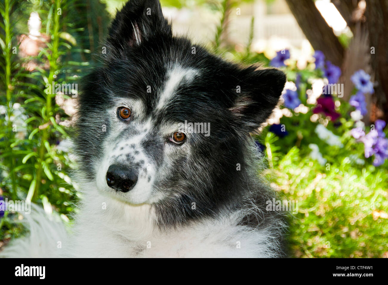 7-year old border collie - Stock Image