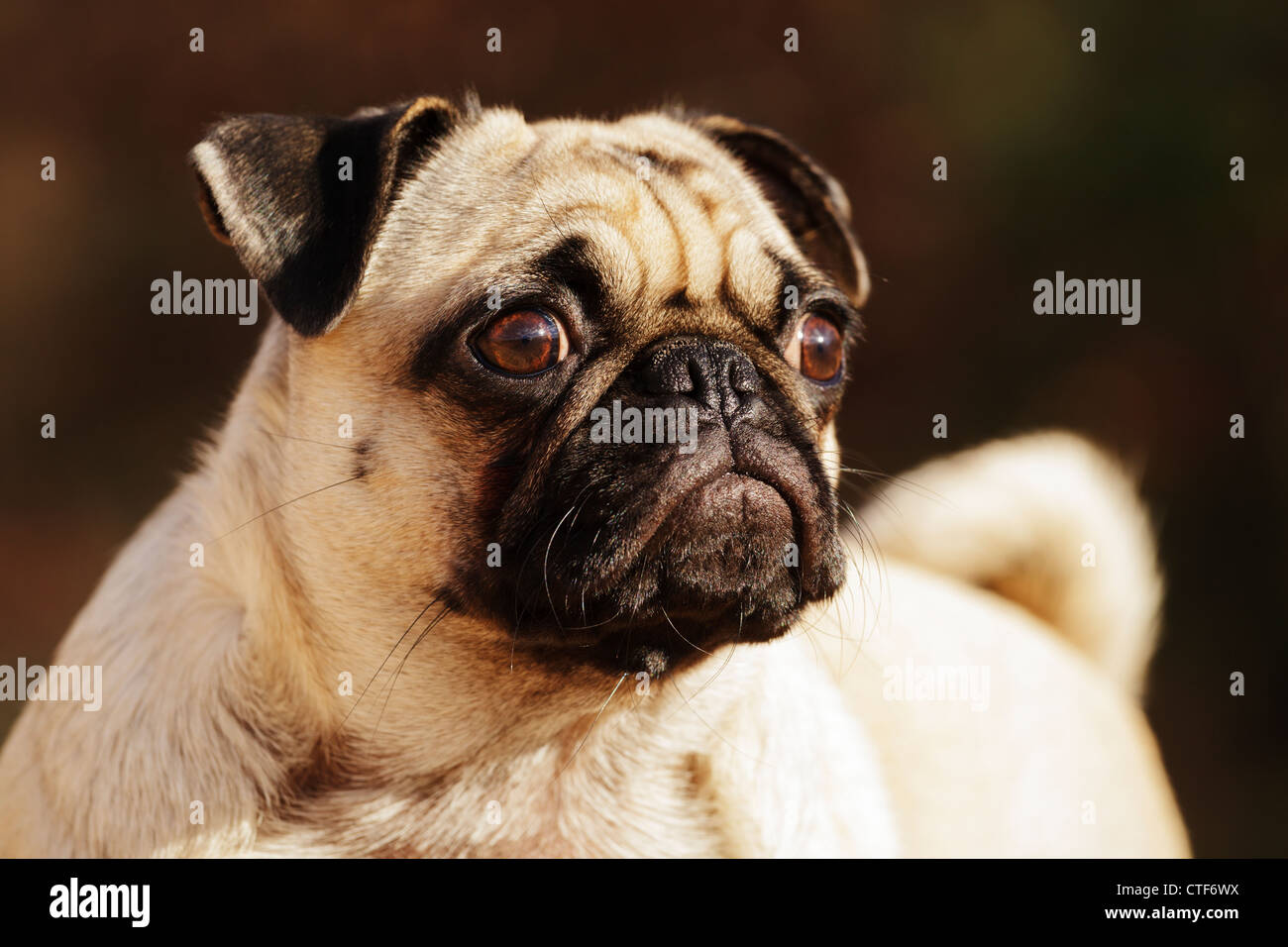 Portrait of a pet pug dog. - Stock Image