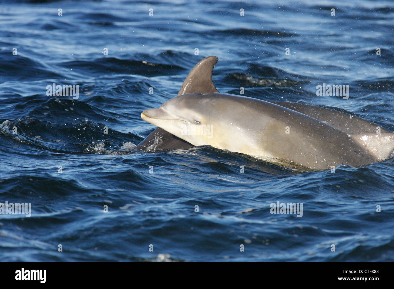 Bottlenose dolphins (Tursiops truncatus), mother and calf surfacing, Moray Firth, Scotland, UK - Stock Image