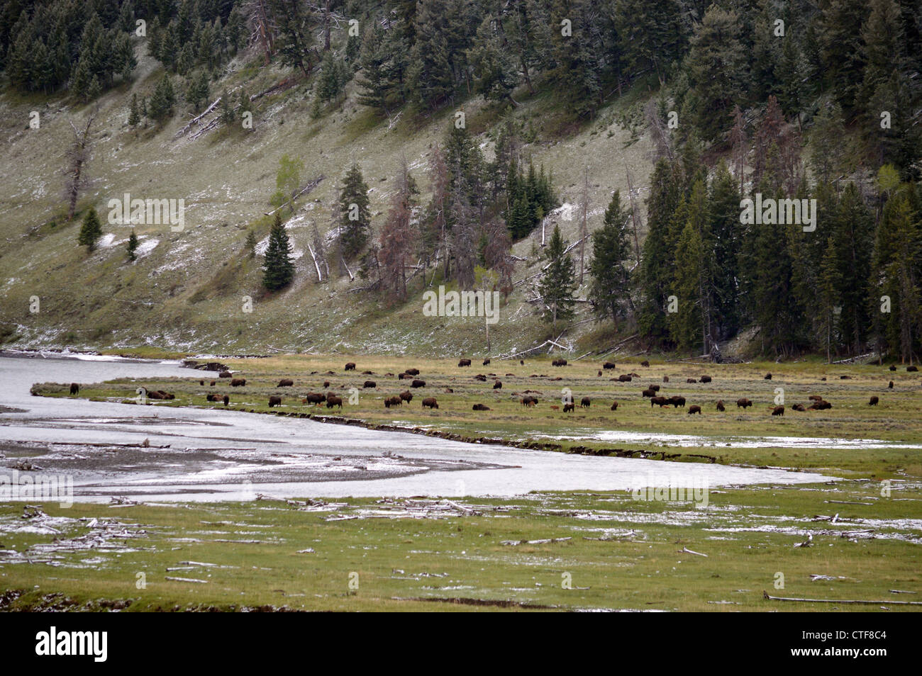 A herd of buffalo in Yellowstone National Park near  sylvan lake - Stock Image