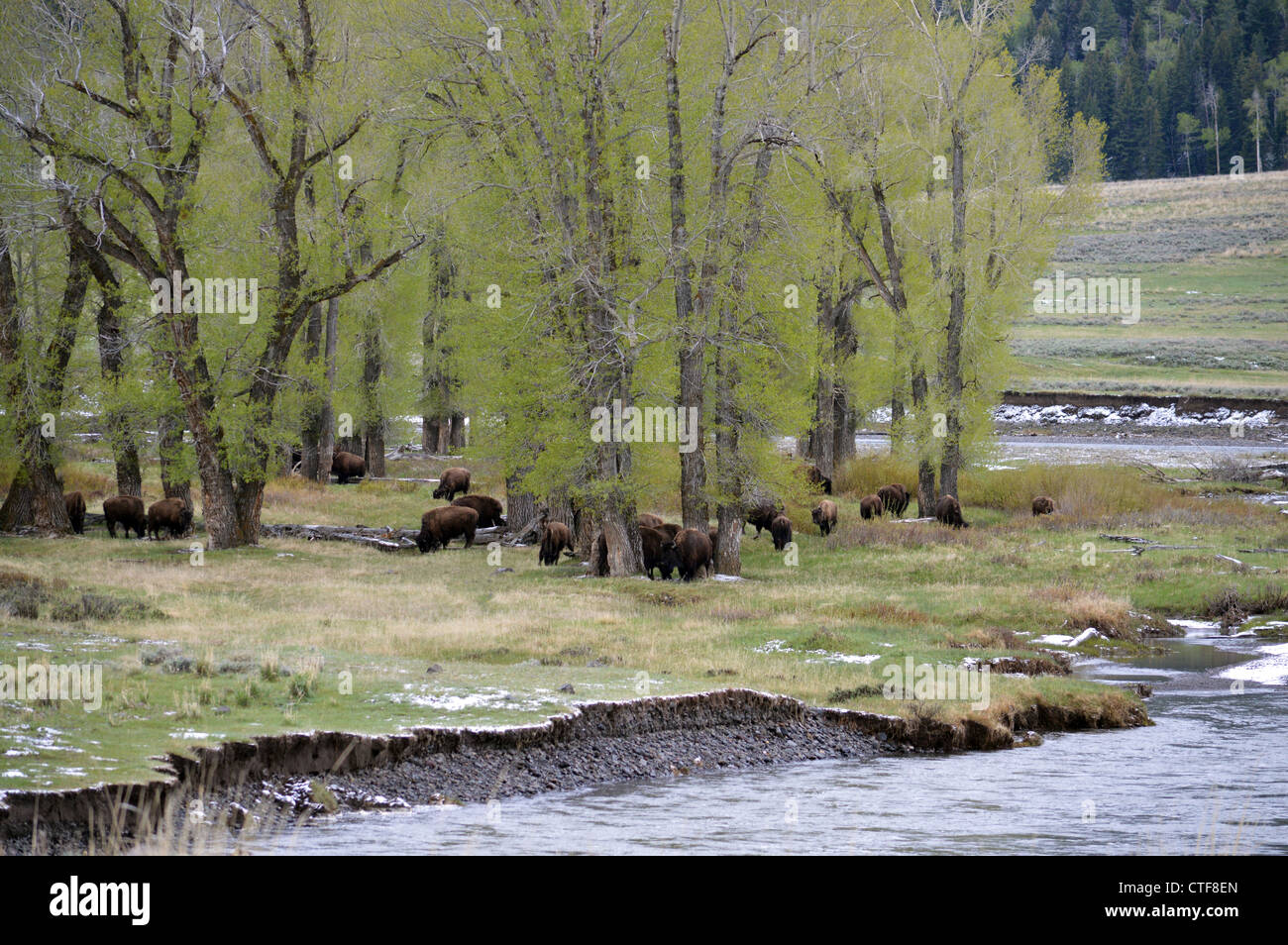 A herd of buffalo in Yellowstone National Park near the East Entrance - Stock Image