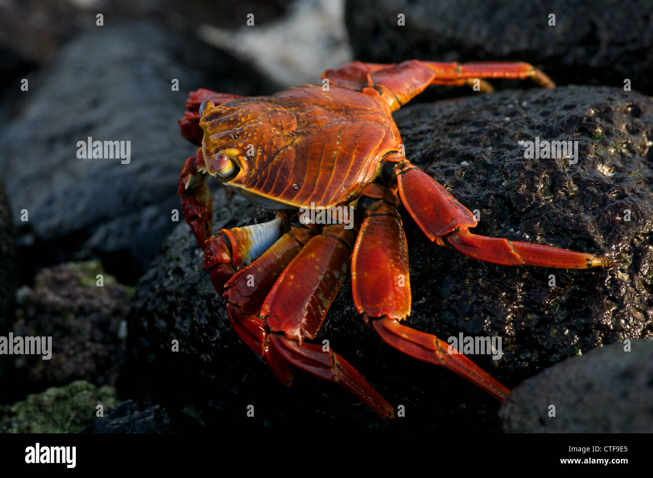 A Sally Lightfoot Crab (Grapsus grapsus) on the volcanic shoreline of Santa Fe Island in the Galapagos Islands, - Stock Image