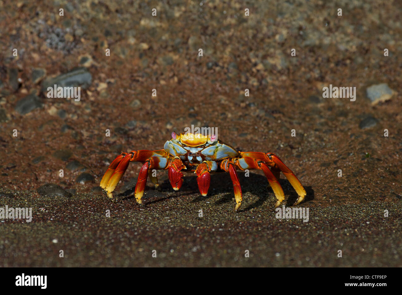 A Sally Lightfoot Crab (Grapsus grapsus) on the volcanic shoreline of Floreana Island in the Galapagos Islands, - Stock Image
