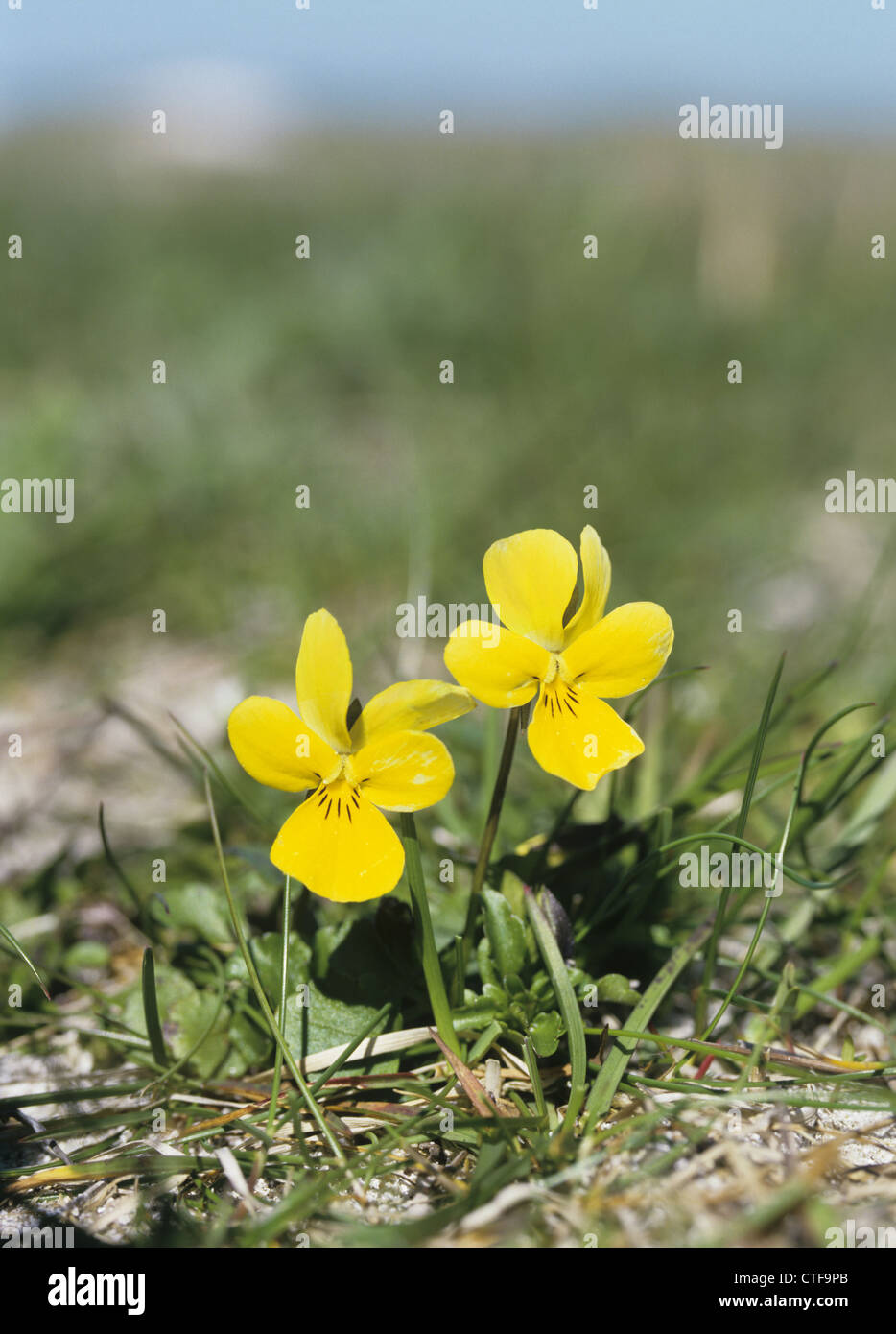Dune Pansy Viola tricolor ssp. curtisii - Stock Image
