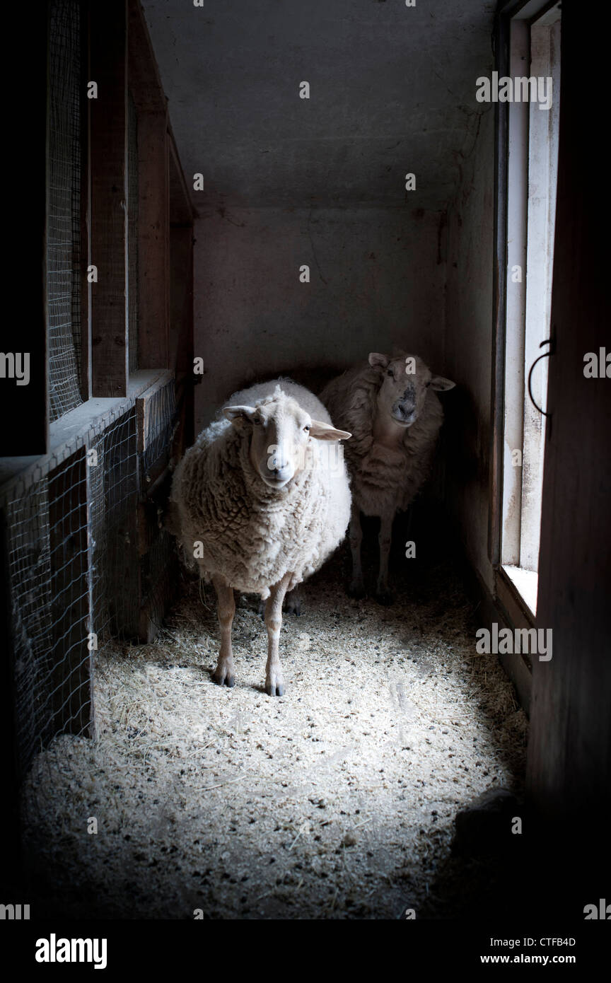 Two sheep in barn staring at camera with cocked heads. - Stock Image
