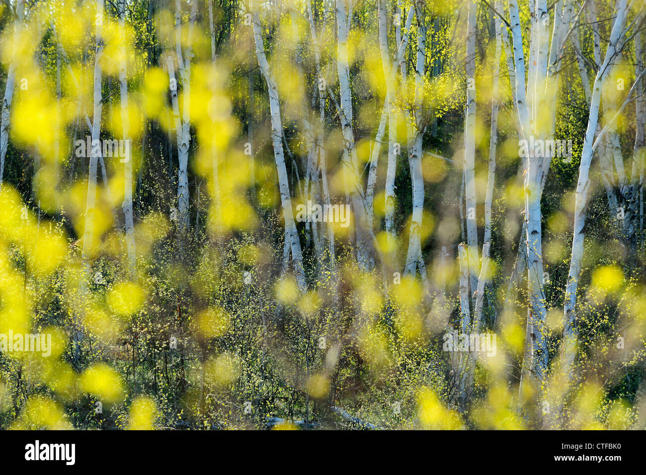 Spring birch trees as seen through out of focus birch leaves, Greater Sudbury, Ontario, Canada - Stock Image