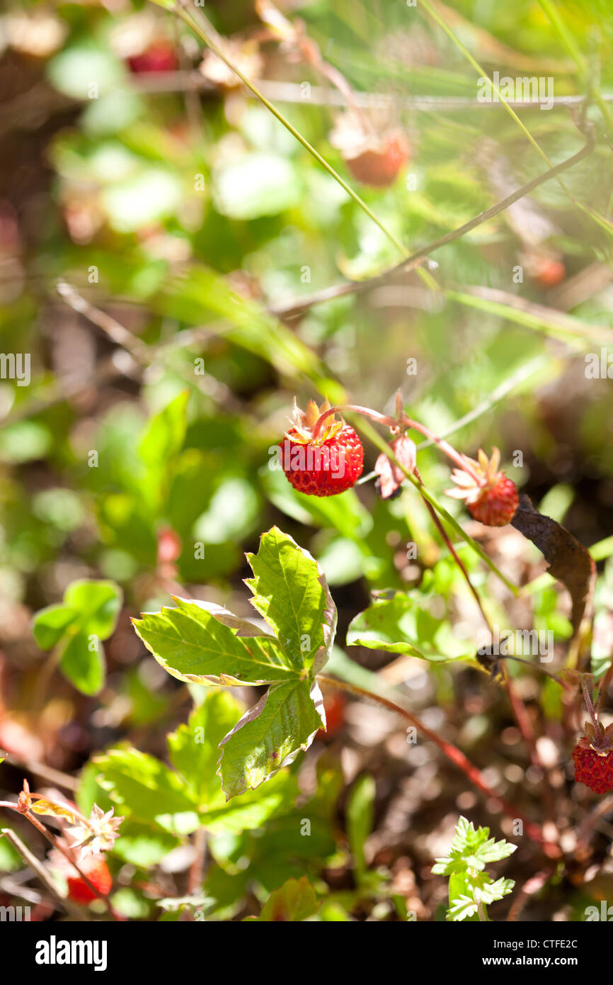 Close-up of delicious fresh and ripe wild strawberries Stock Photo