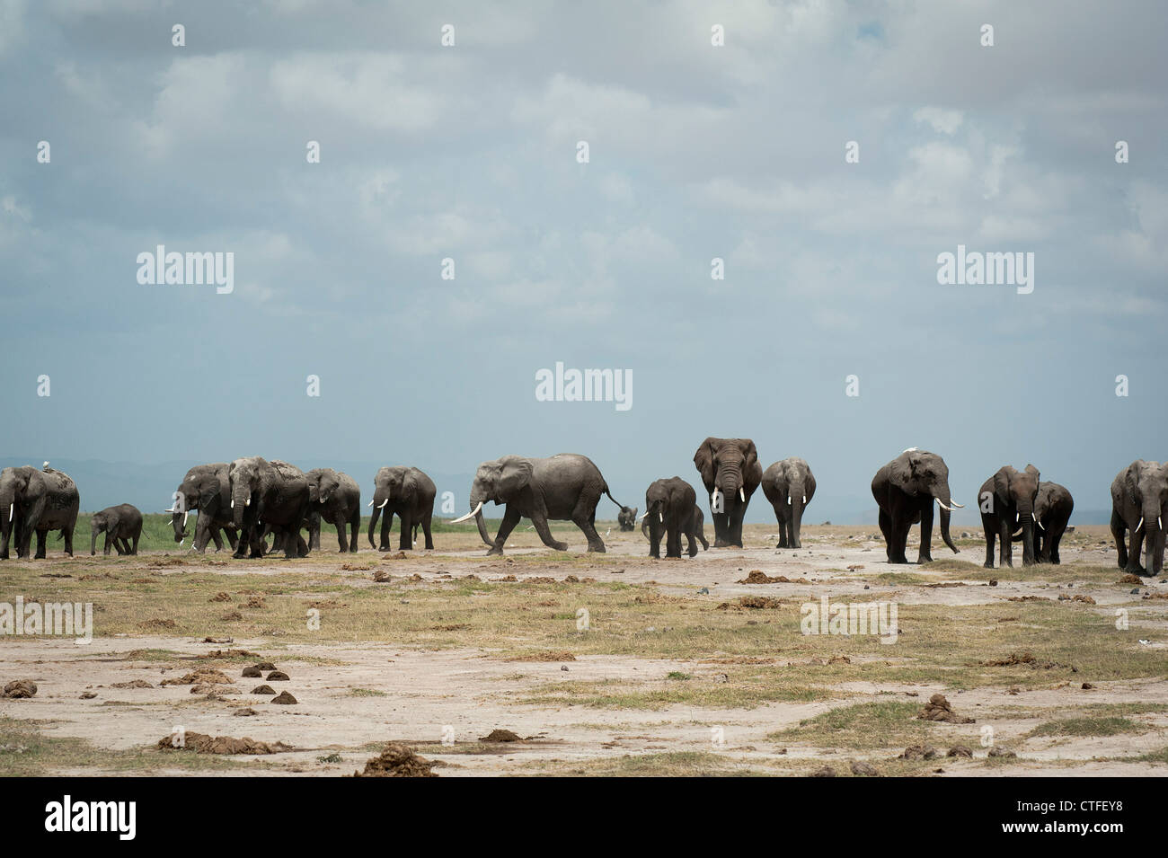 A magnificent herd of Elephant in Amboseli - Stock Image