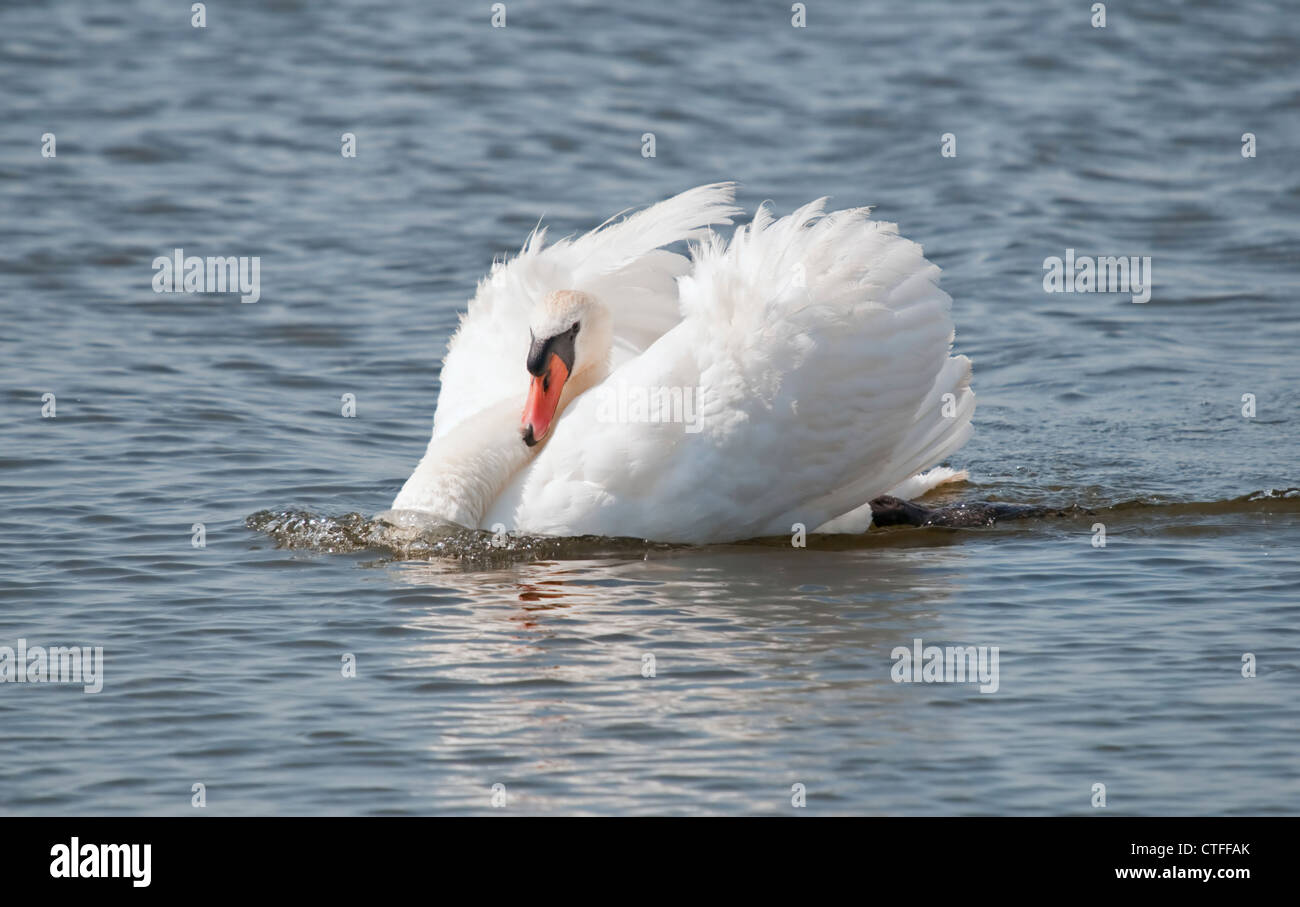 A Mute Swan pushes through the water in a threat pose - Stock Image
