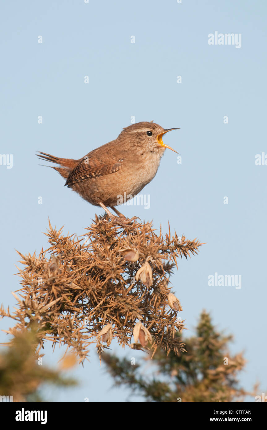 A wren perched on a gorse bush sings loudly while facing the morning sun. Dungeness RSPB, Kent, UK Stock Photo
