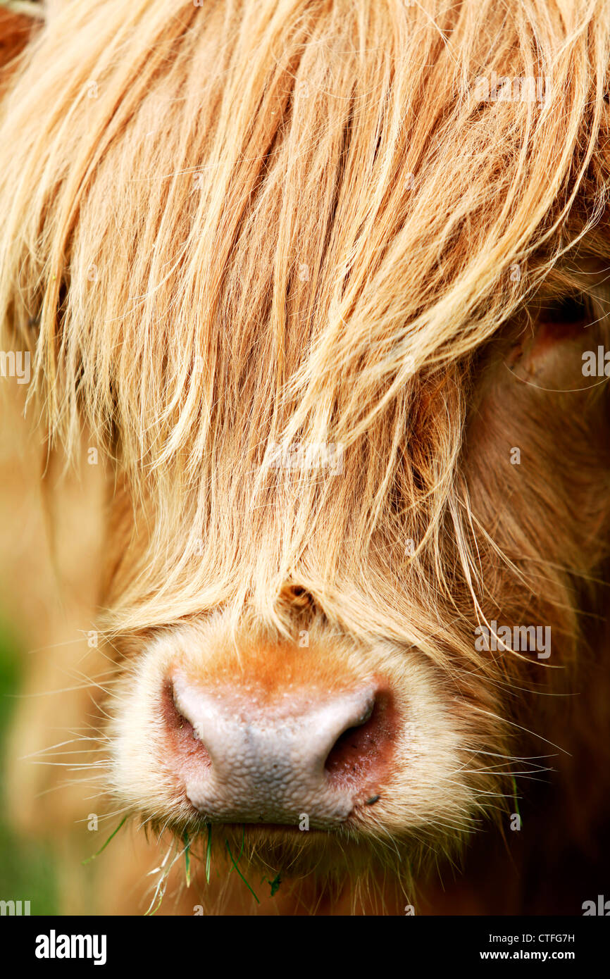 Vertical close up of highland cow head with hair over face Stock Photo