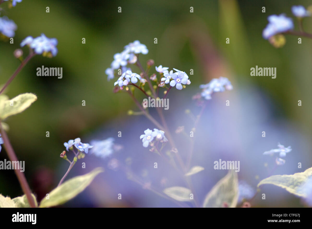 Wood Forget-me-not (Myosotis sylvatica) in flower, England, UK - Stock Image