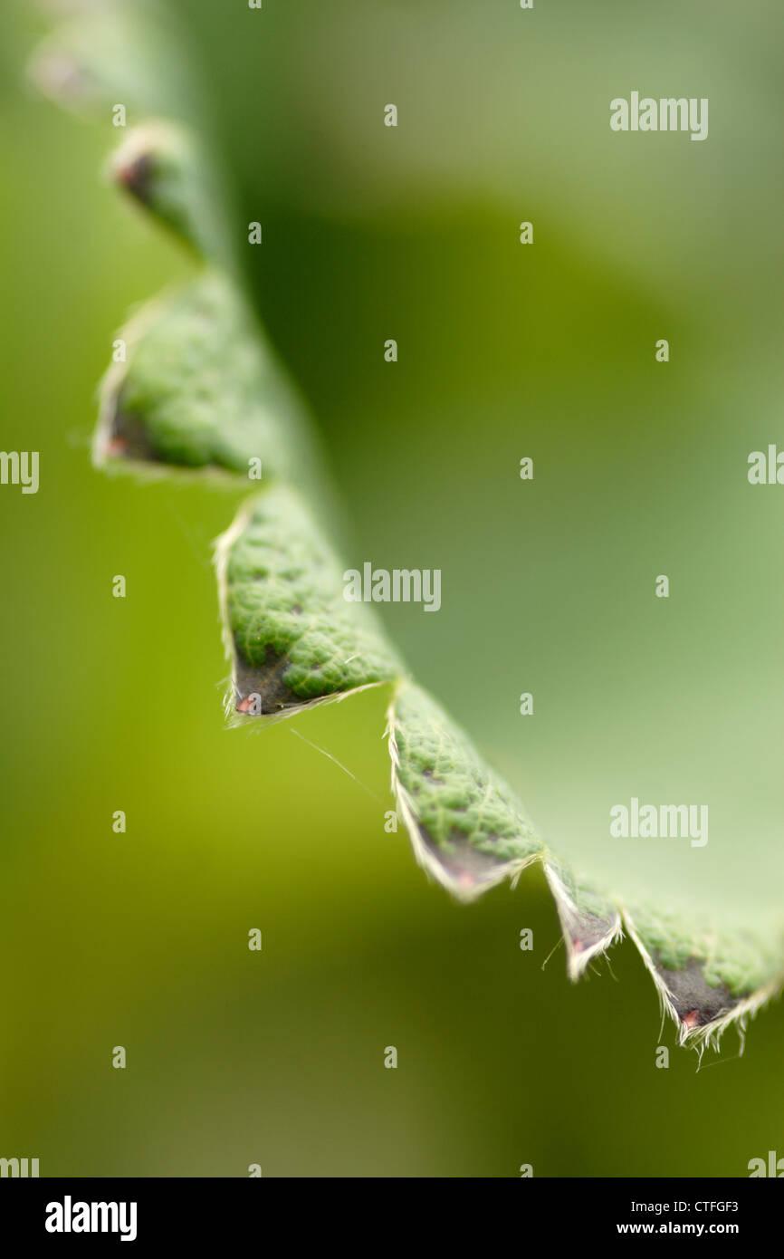 Leaf detail of Strawberry plant (Fragaria x ananassa) - Stock Image