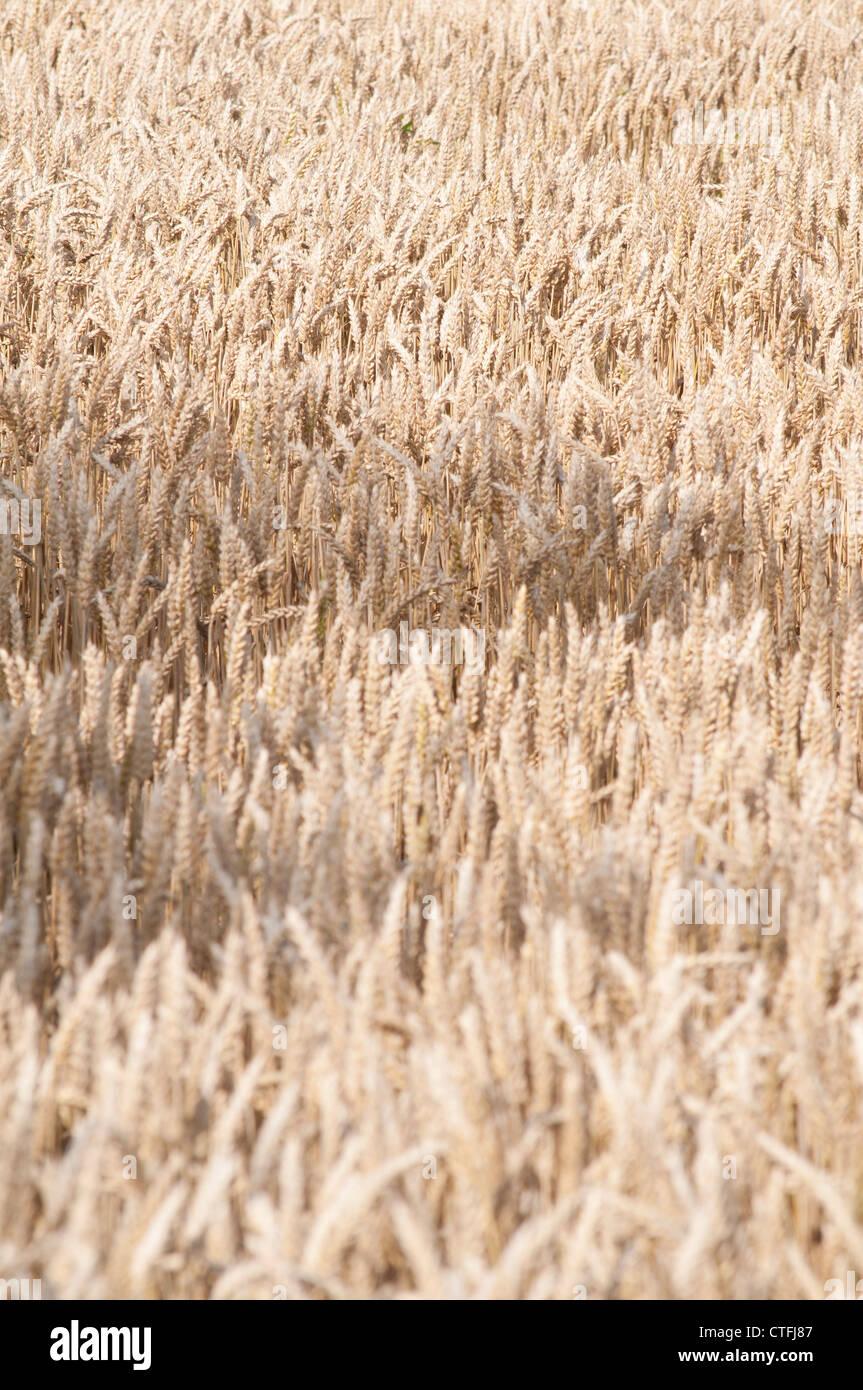 champs de blé mure en été avant la récolte ripe wheat fields in summer before harvest - Stock Image