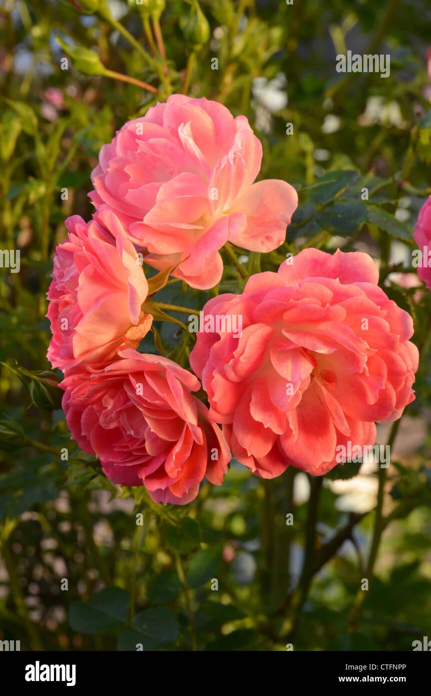 Rosa weekend in paris number 3171 - Stock Image