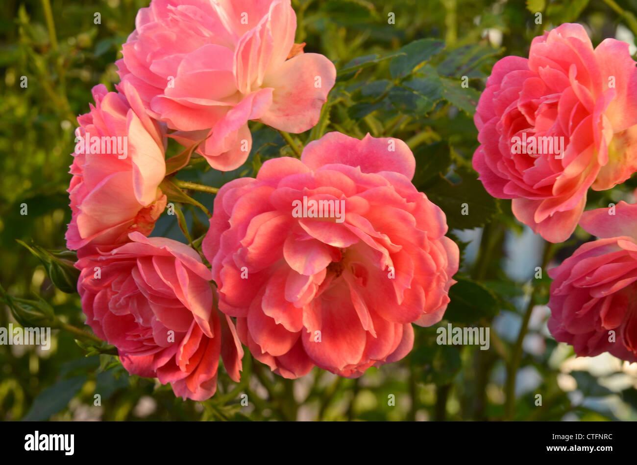 Rosa weekend in paris number 3170 - Stock Image