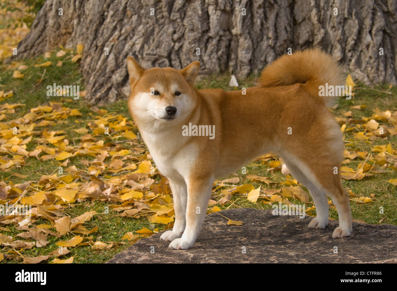 Shiba Inu standing on granite slab - Stock Image