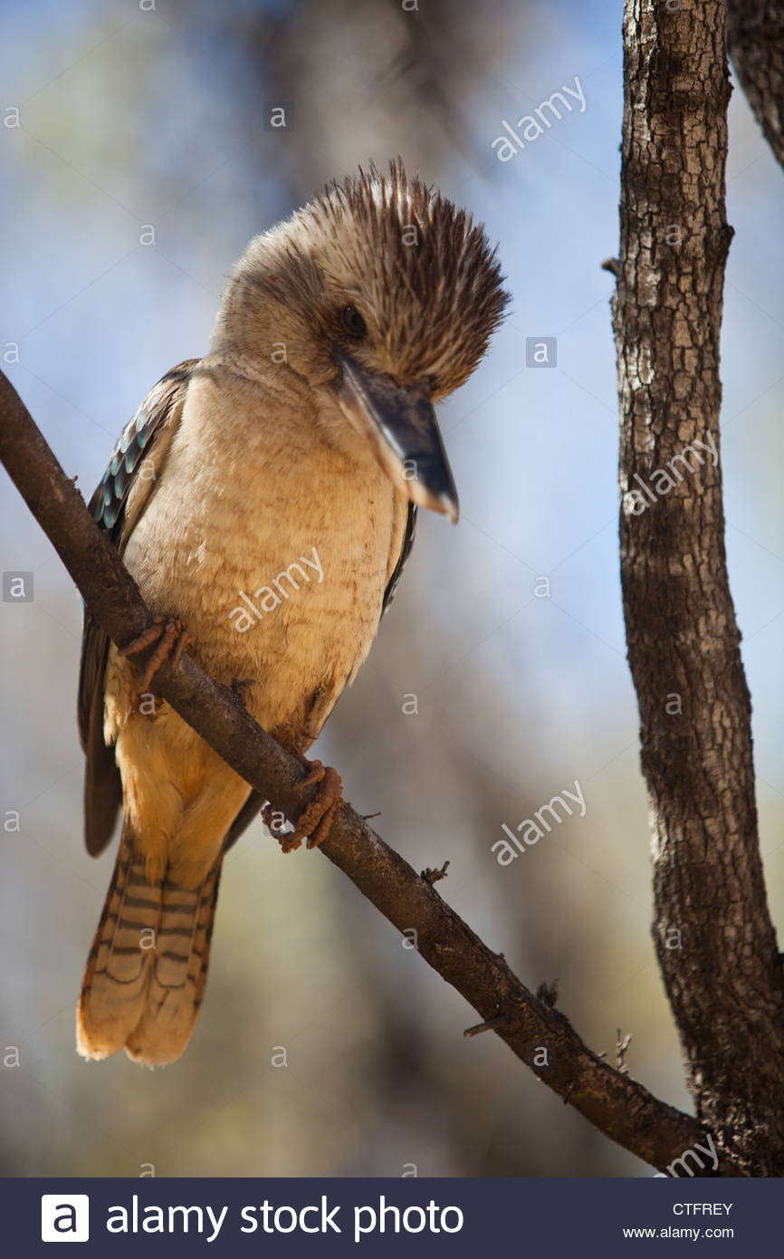 An Australian blue-winged kingfisher sits in a tree in the Bungle Bungle ranges, Purnululu national park, WesternStock Photo