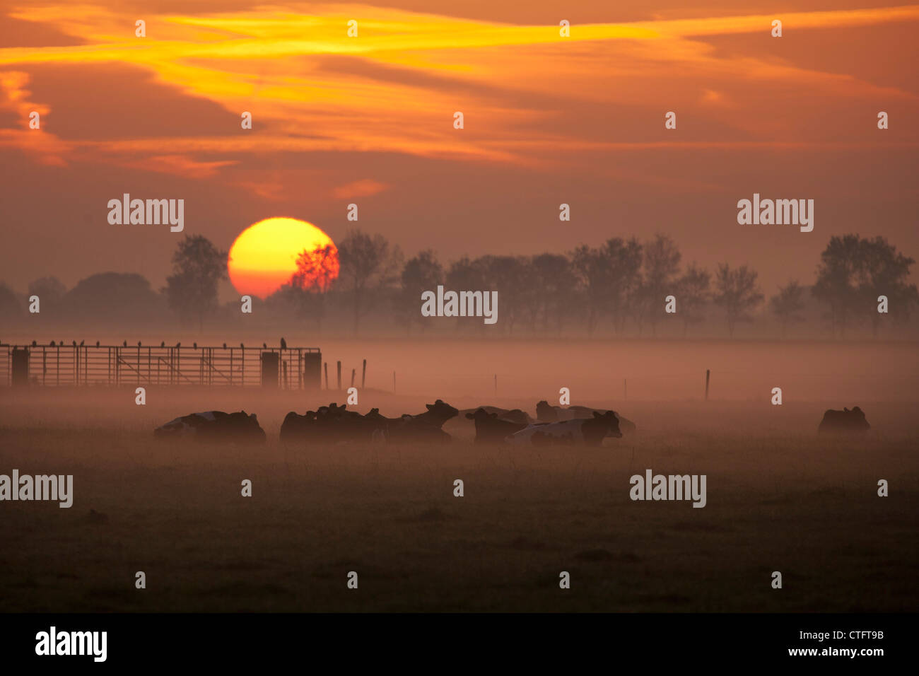The Netherlands, Noord Beemster, Beemster Polder, UNESCO World Heritage site. Cows in morning mist. Sunrise. - Stock Image