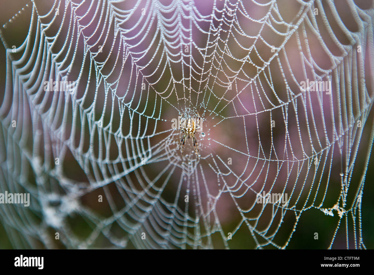 The Netherlands, Bussum, Early morning, flowering heath. Spider in web. - Stock Image