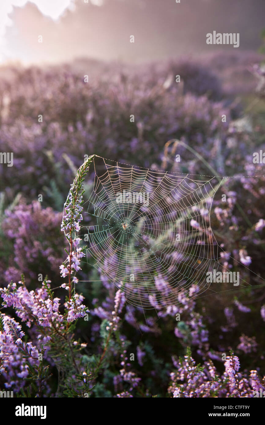 The Netherlands, Bussum, Early morning, flowering heath. Spider web. - Stock Image