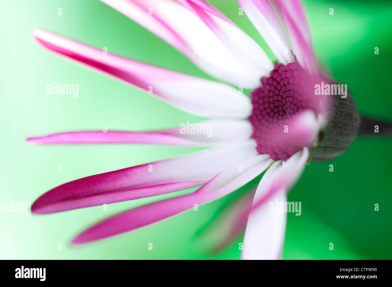 senetti flower in english garden - Stock Image