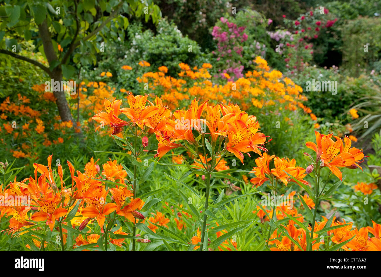 Tiger Lily Flowers In Garden Stock Photo 49521643 Alamy