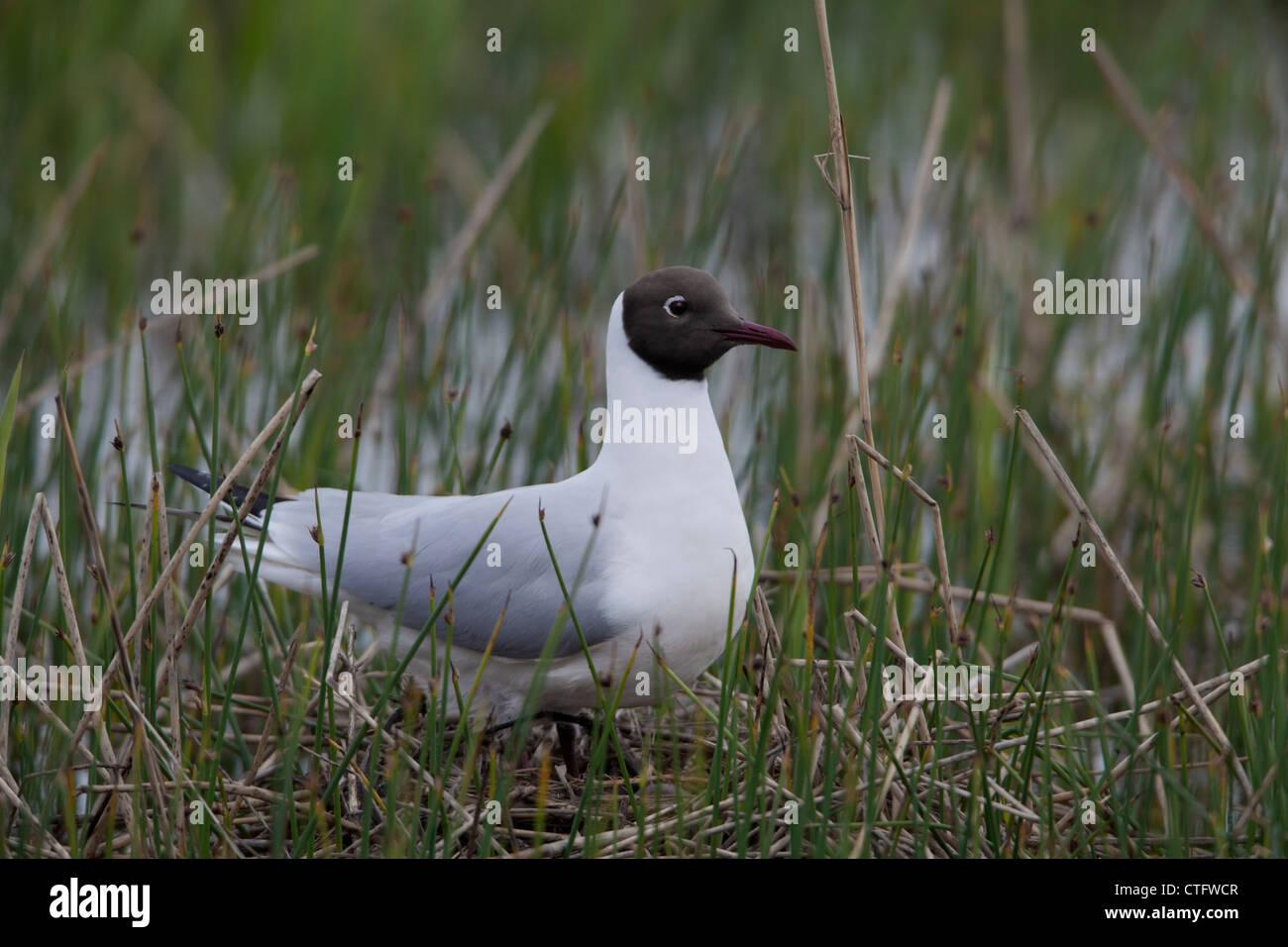Black-headed Gull Larus ridibundus adult standing on nest Stock Photo