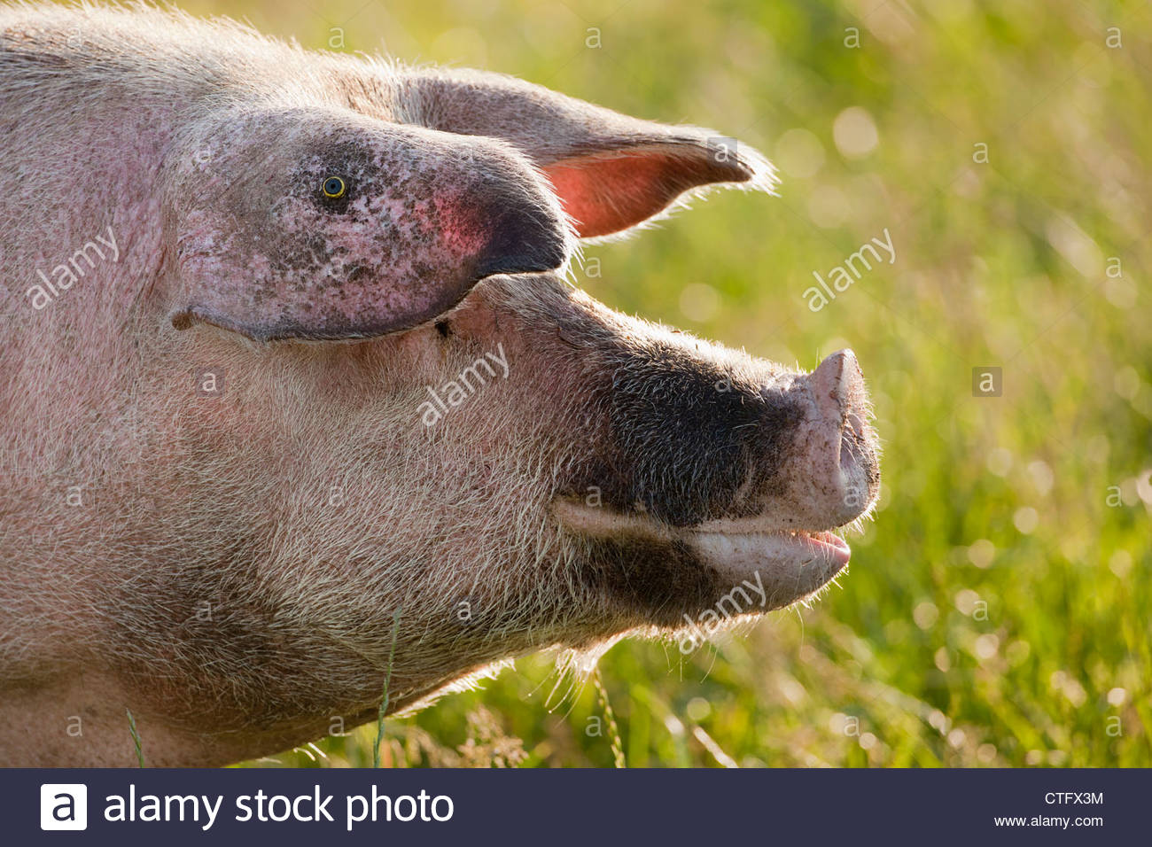 The Netherlands, Kortenhoef, Pigs. Sow. - Stock Image