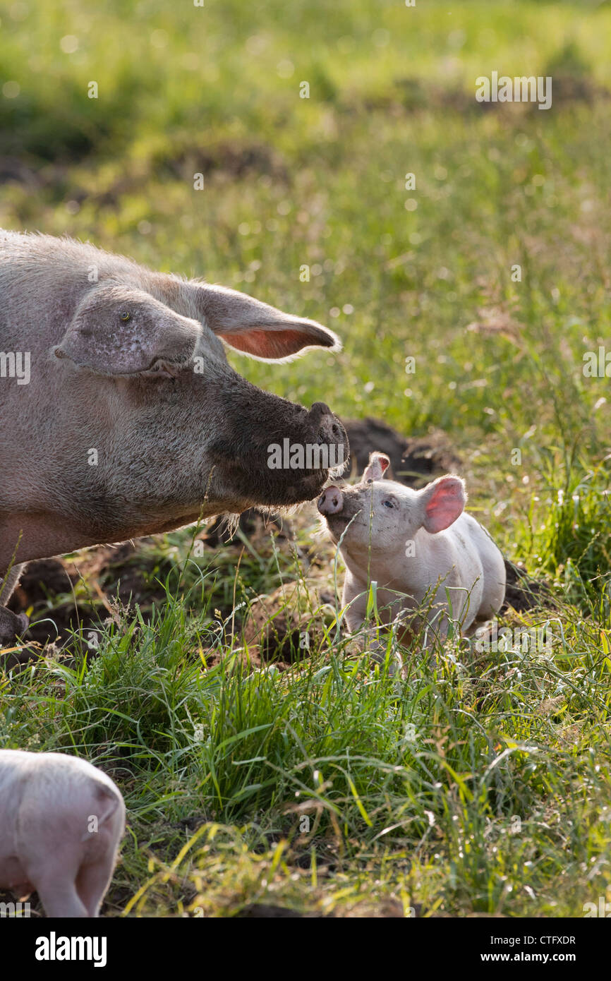 The Netherlands, Kortenhoef, Pigs. Sow and piglet. - Stock Image