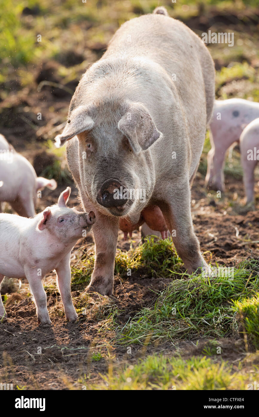 The Netherlands, Kortenhoef, Pigs. Sow and piglets. - Stock Image