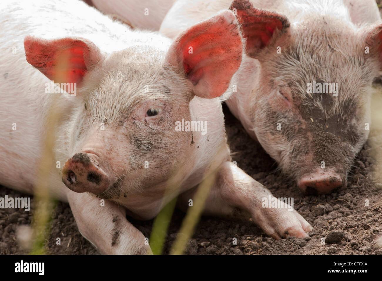 The Netherlands, Kortenhoef, Piglets. - Stock Image