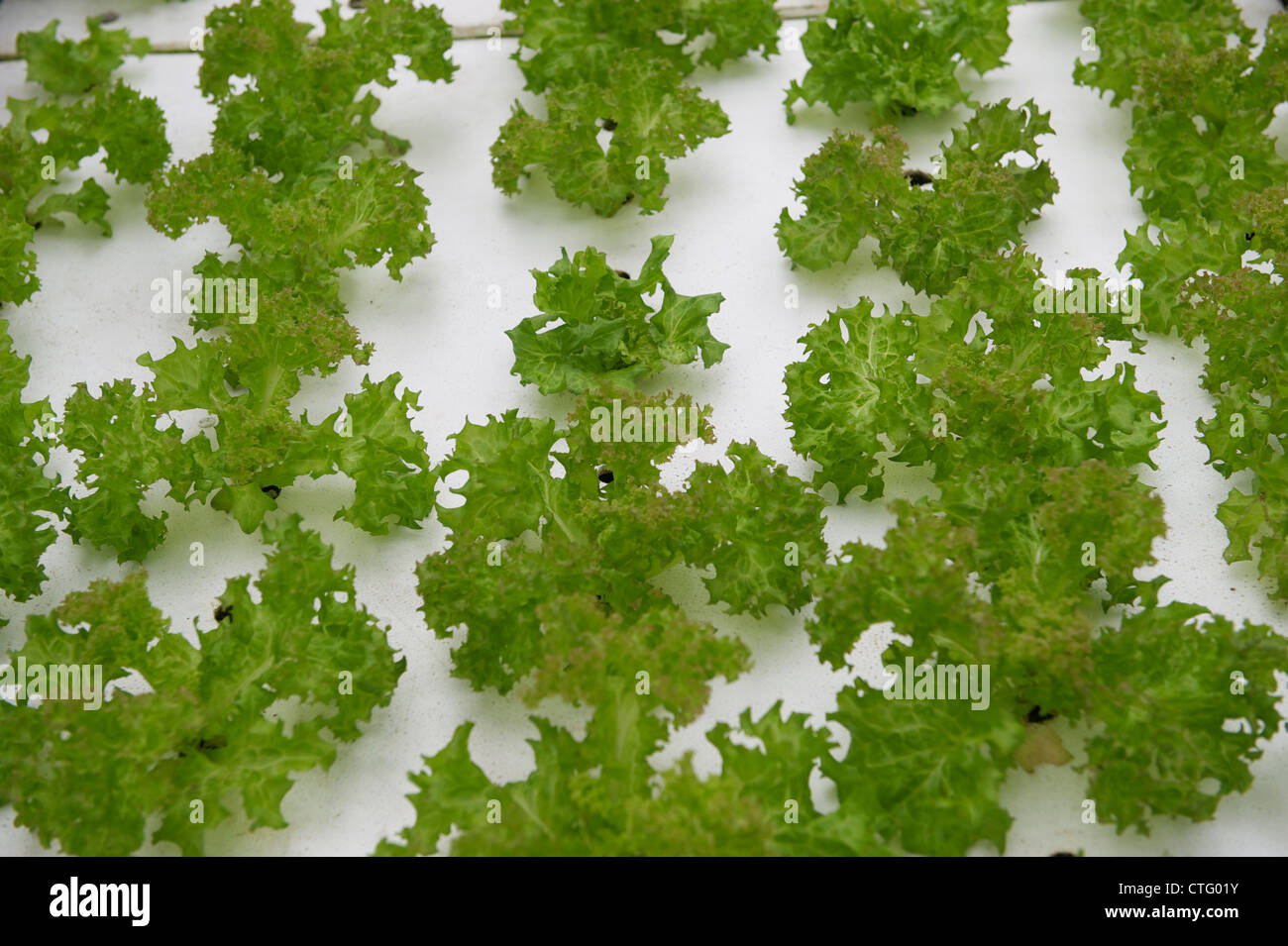 Lettuces grown with nutrient fluid in China. - Stock Image